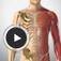 Imagem do aplicativo Anatomia em animações